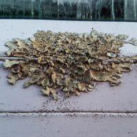 Lichen - Roofing Maintenance